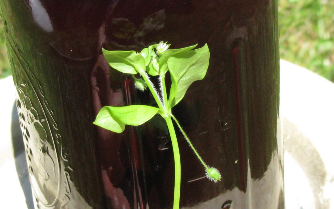 Making Chickweed Oil – UPDATED