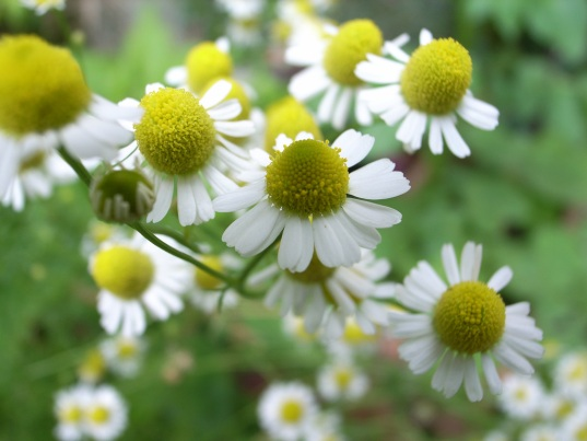 Chamomile, Mother Rabbit's Remedy