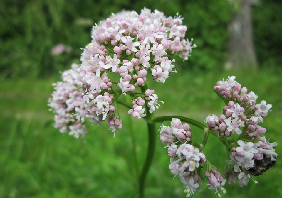 Valerian Root – An ally for muscle relaxation